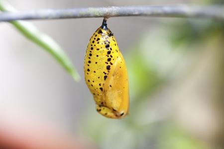 capullo: crisálida de mariposa colgando de la rama en verano