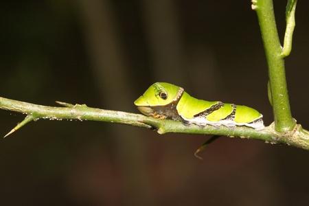 macro of butterfly larva climbing photo