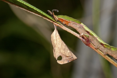 chrysalis of butterfly  hanging on branch in summer Stock Photo - 10757684