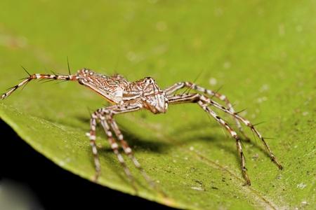 nursery web spider: macro of Wolf spider on leaf