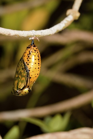 chrysalis of butterfly  hanging on branch in summer photo