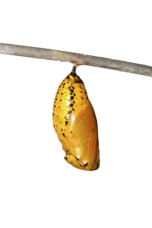 chrysalis of butterfly  hanging on branch in summer isolated on white background Standard-Bild