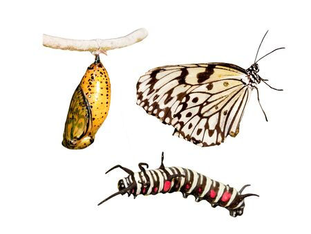 Metamorphosis (life cycle) of the butterfly photo