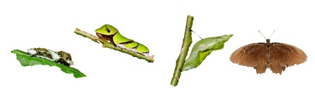 chrysalis: Metamorphosis (life cycle) of the swallowtail butterfly