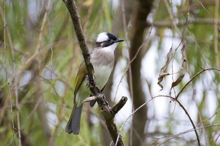common popular bird Light-vented Bulbul stand on branch ready for fly photo
