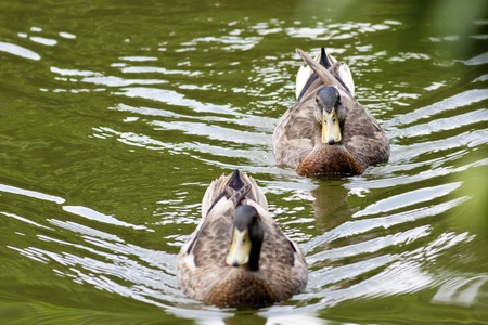 mated: funny looking view of a duck stand on pond Stock Photo
