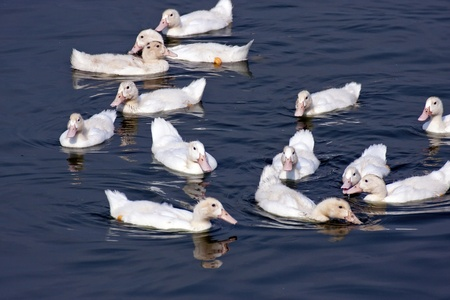 mated: funny looking view of several ducks swimming on pond