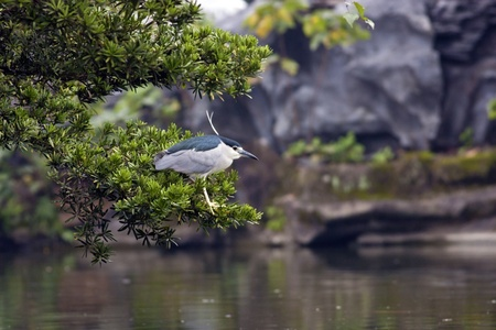 beautiful view of a bird Black-crowned Night Heron with leaves photo