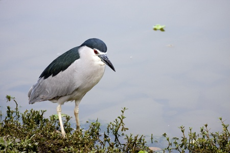 beautiful view of a bird Black-crowned Night Heron stand on rock photo