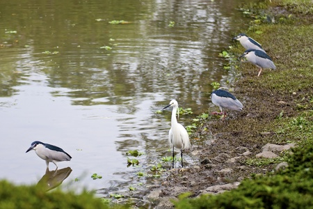 beautiful view of white birds near lake photo