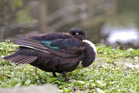 black duck in natural habitat photo