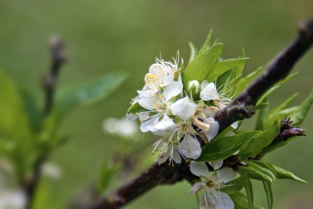 beautiful view of a group of bloom white Oriental plum in winter Stock Photo - 13054850