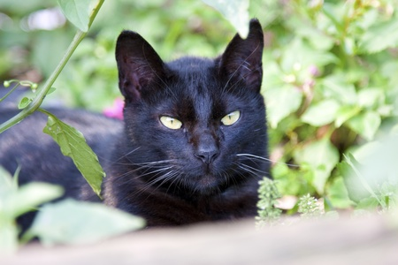 portrait of a cute black cat looking ahead photo