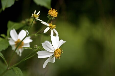 beautiful view of white flora Bidens in spring Stock Photo - 13054908