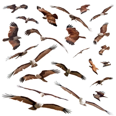 group pf various posture of red eagle Brahminy Kite isolated on white background Stock Photo