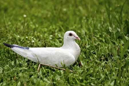 macro view of a pigeon standing on ground in spring photo