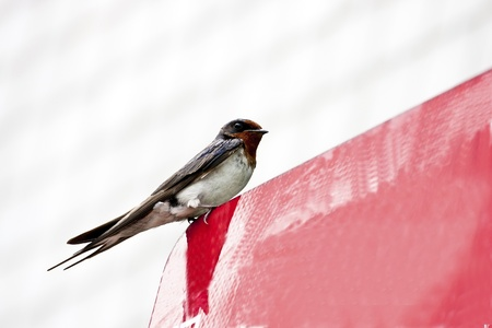 migrate: macro view of a cute swallow migrate in Taiwan