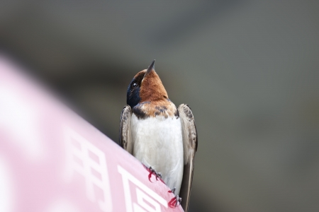 macro view of a cute swallow migrate in Taiwan photo