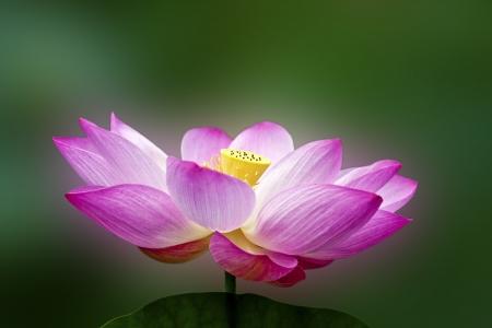 연꽃이나 수련 꽃 연못에 피는