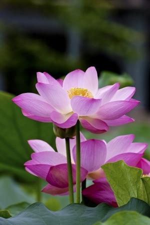 lirio de agua: loto flores o las flores del lirio de agua en flor en la charca