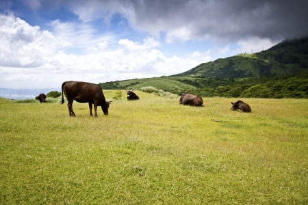 Cows Grazing on Pasture in Yangming mountain, Taiwan photo