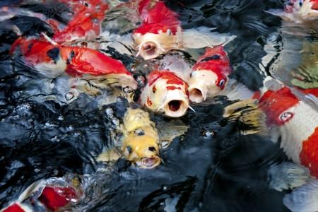 escamas de peces: koi rojo, los peces en el estanque de carpas japonesas zen esperando por la comida Foto de archivo
