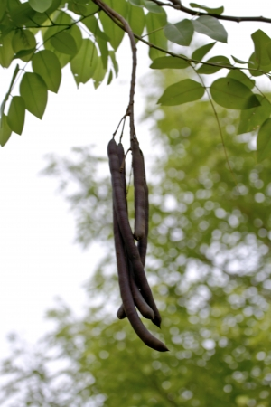 legume: Legume of golden shwer tree in summer