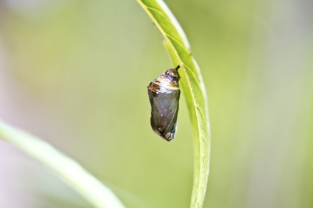 Chrysalis of butterfly hang on heart leaf in summer photo