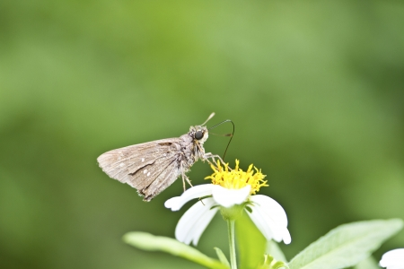 macro view of butterfly Silver-spotted Skipper in summer photo