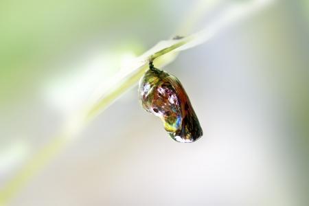 metamorfosis: Cris�lida de mariposa ca�da en la hoja del coraz�n en verano Foto de archivo