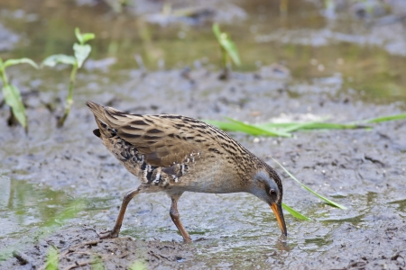wetland conservation: Water Rail in natural habitat Stock Photo