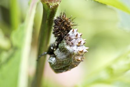 larva change his body into pupa,the metamorphosis Stock Photo - 15367571
