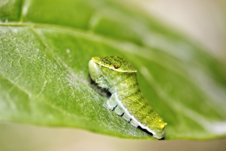 macro shot of butterfly larva on leaf in summer Stock Photo - 15367576