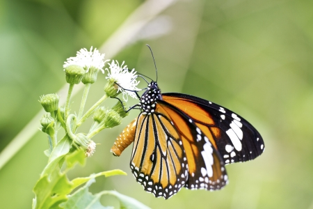 giant sunflower: beautiful view of a butterfly attract honey on flower in summer Stock Photo