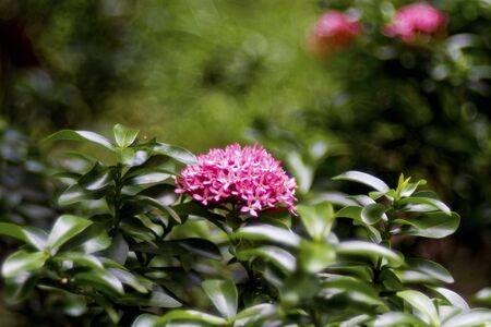 geranium color: Jungle geranium (Ixora coccinea). Close-up. Red color.