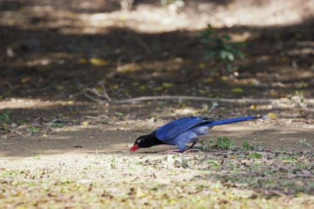 blue body with black head,formosa magpie photo