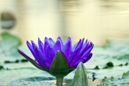 beautiful water lilly on pond photo