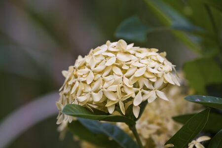 Jungle geranium (Ixora coccinea). Close-up. yellow color. Stock Photo - 16702547