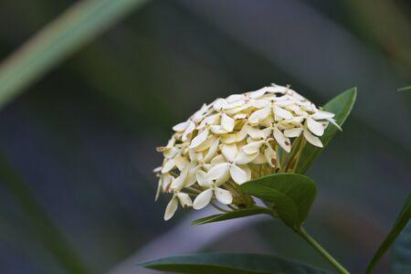 Jungle geranium (Ixora coccinea). Close-up. yellow color. Stock Photo - 16702441
