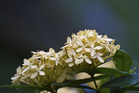 geranium color: Jungle geranium (Ixora coccinea). Close-up. yellow color.