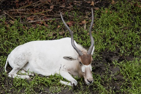 Addax nasomaculatus display in Taipei city zoo Stock Photo - 17022414