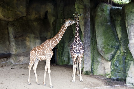 giraffe display in Taipei City zoo,Giraffa camelopardalis Stock Photo - 17021079