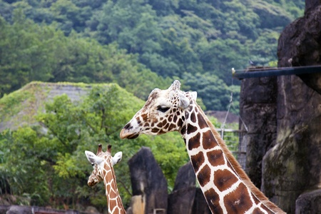 giraffe display in Taipei City zoo,Giraffa camelopardalis Stock Photo - 17021193