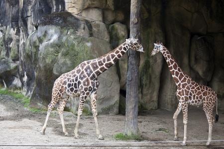 giraffe display in Taipei City zoo,Giraffa camelopardalis Stock Photo - 17021262
