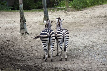 burchell: beautiful zebras display in Taipei city zoo in summer