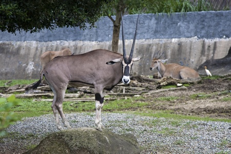 baby ass: East African Oryx display in Taipei city zoo in summer,Oryx beisa Stock Photo