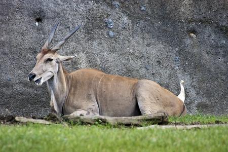 common eland in zoo,Taurotragus oryx Imagens