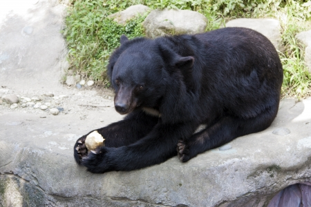 formosa black bear in Taipei City zoo,Ursus thibetanus formosanus Stock Photo - 17020894