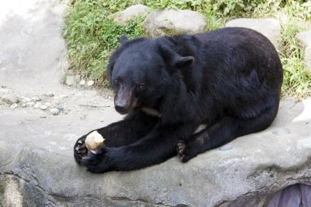 formosa black bear in Taipei City zoo,Ursus thibetanus formosanus Stock Photo - 17020894