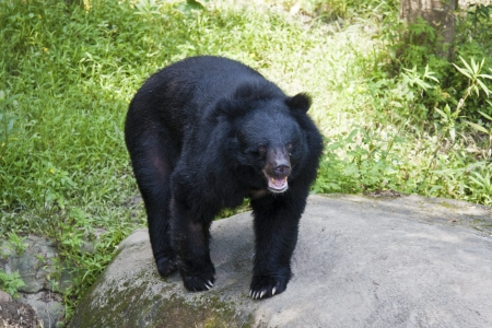 formosa black bear in Taipei City zoo,Ursus thibetanus formosanus Standard-Bild